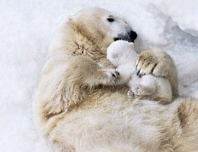 Marka Bering pomaga ratować niedźwiedzie polarne