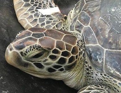 Certina w ochronie żółtwia morskiego. Edycja specjalna Sea Turtle.